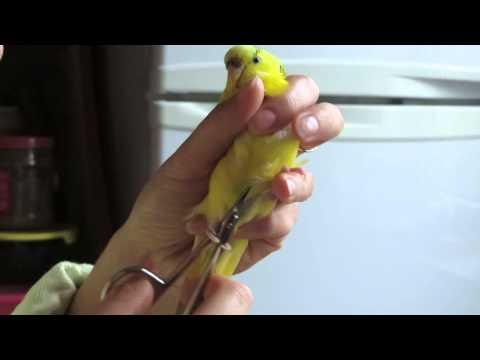 Как обрезать ногти попугаю - ч2 Ника