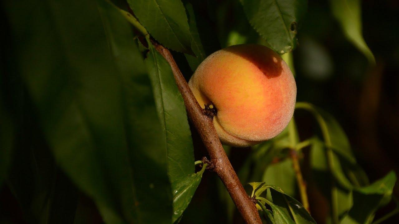Fruit Trees Central Texas Gardener