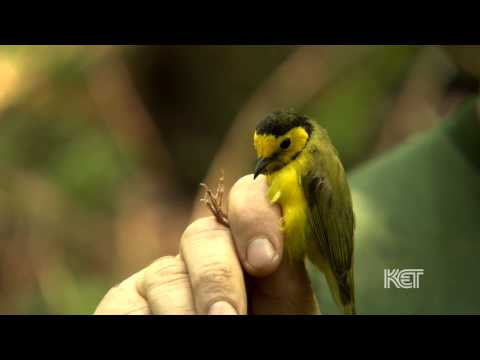Migratory Songbirds   Kentucky Life   KET