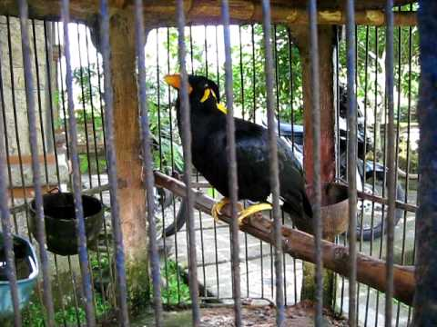 Amazing Talking Myna Bird