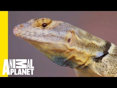 Everything You Need To Know About The Baja Blue Rock Lizard   Scaled
