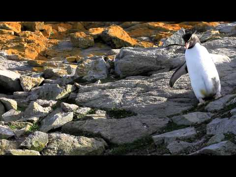 Rockhopper Penguin Hopping Past