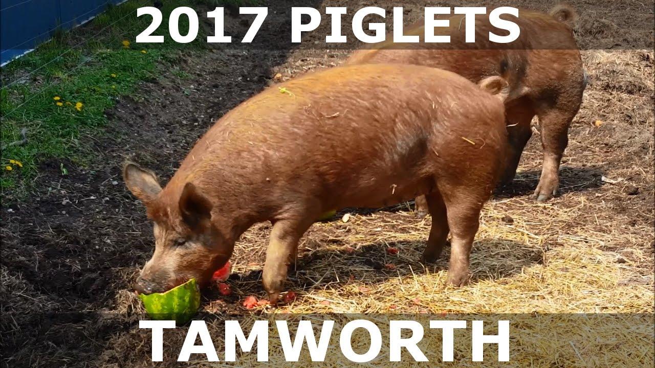 2017 Piglets Tamworth Pigs From Hidden Creek Farm