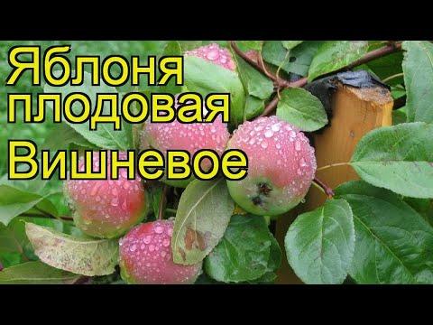 Яблоня плодовая Вишневое. Краткий обзор, описание характеристик malus domestica Vishnevoe