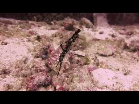 Ornate Ghost Pipefishes. Video by Branko Milovanovic