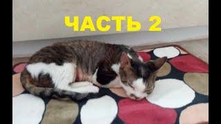Кошки девон-рекс особенности породы Часть 2