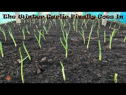 The Winter Garlic Finally Gets Planted, Policlin white garlic