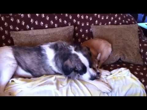 Nika & Maya - Playtime (Pyrenean Mastiff & Pembroke Welsh Corgi)