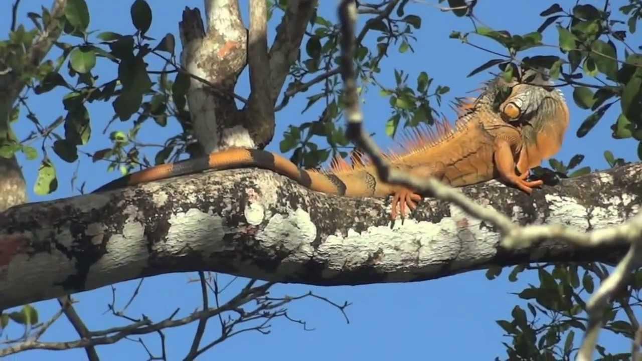 Giant Orange Iguana