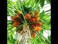 Cómo cultivar Papaya - TvAgro por Juan Gonzalo Angel