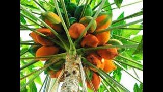 Como cultivar Papaya - TvAgro por Juan Gonzalo Angel