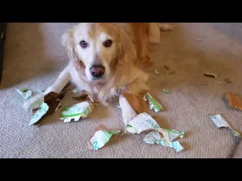 Guilty Dog Made a Huge Mess Shredding a Cardboard Soda Box - English Cream Golden Retriever