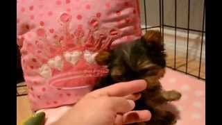 Female Teacup T-cup Yorkie