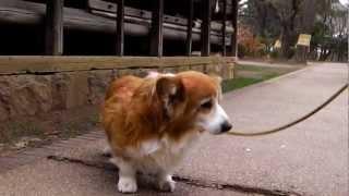 ミッキーはコーギー犬の15才です。大病から復活しました。