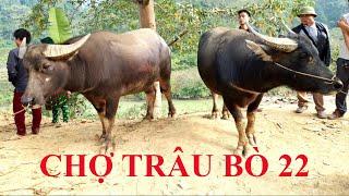 Hai con trâu rất đẹp tại Chợ trâu bò 22 huyện Bảo Lâm, tỉnh Cao Bằng, tham khảo giá trâu bò ở chợ 22