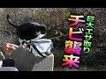 【地域猫】巨大エサ取りチビ!再度襲来!【魚くれくれ野良猫製作委員会】