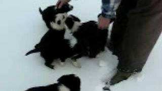 Comebyanaway Border Collie Puppies in Snow