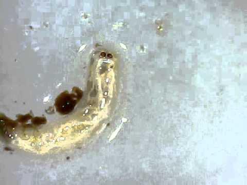 Fliegenlarve youtube for Fliegen larve