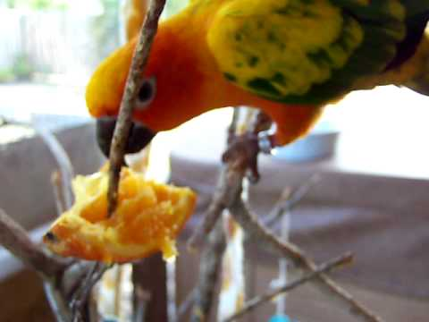 Sun Conure Parrot enjoying his orange
