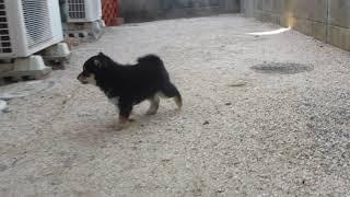 裏庭で遊ぶ黒柴 黒まめ thumbnail