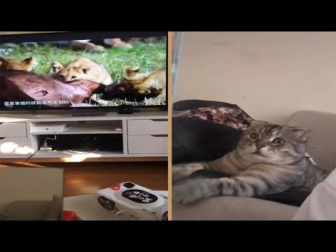 Cat Scared By Lion Documentary He Sees On TV