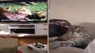Video: INSÓLITA reacción de un gato al ver cómo LEONES devoran a su presa