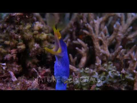 Ribbon Eel, Rhinomuraena Quaesita