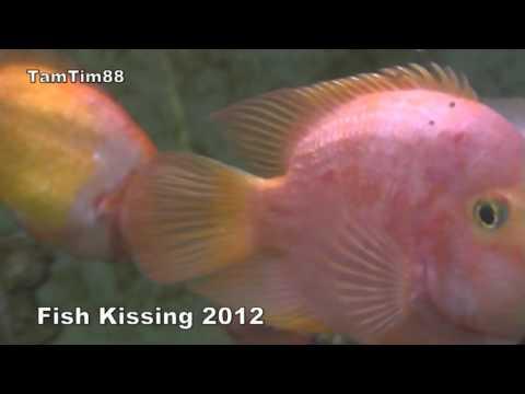 Fish Kissing 2012  - Xem cá hôn hit