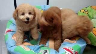 filhotes poodle - Personal Dog