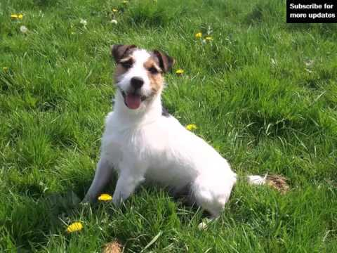 Cute And Lovely Pictures Of Dog Terrier Jack Russell