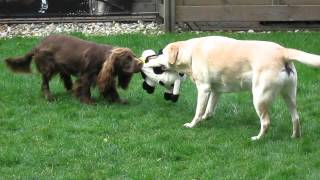 8 year old Labrador vs 1 year old Sussex Spaniel.