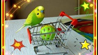 Покупки из зоомагазина//Подарки для Тоши//Как ИГРАЕТ волнистый попугай//зеленый попугайчик TV