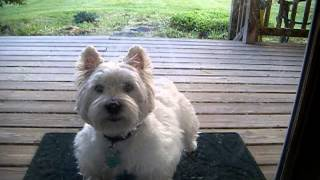 Dexter The Westie - Barking In The Backyard