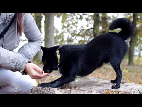 DOG TRICKS AND TRAINING | Labrador and schipperke