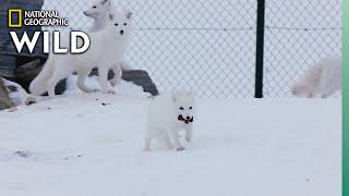 Arctic Fox in Norway | Wild Nordic
