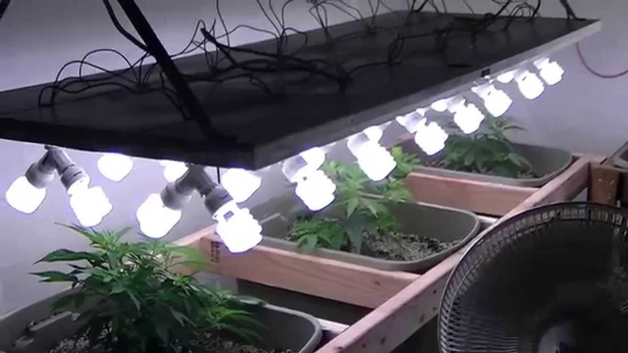 Organic Cfl Indoor Medical Marijuana Grow Part 1 Youtube