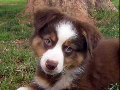 Shade Tree Aussies - AKC Mini Aussie puppies for sale