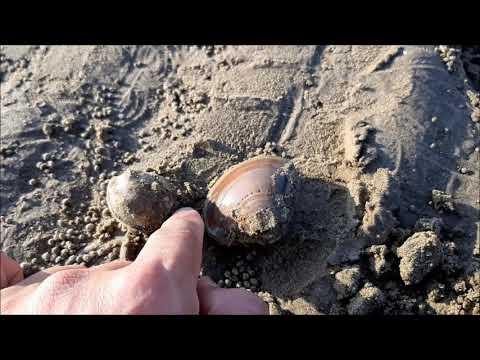 조개잡이,태안 안면도바다-태안 조개캐기 조개 이름과 먹어도 되는건가요