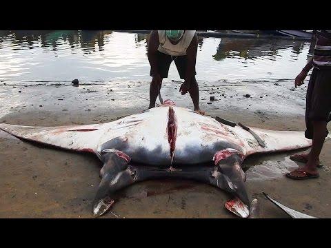 World Biggest Manta Ray Fish Cutting - 500 kg Stingrays Fish Pellant with Sharp Sword