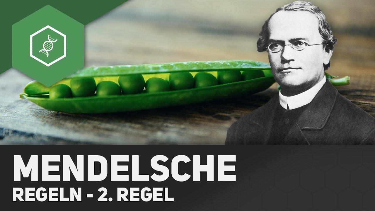 20. Mendel'sche Regel   Spaltungsregel