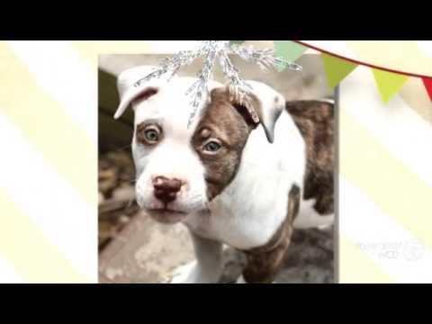 Bully Pitsky Dog breed - YouTube