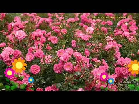 Роза почвопокровная Мирато. Краткий обзор, описание характеристик, где купить саженцы Mirato