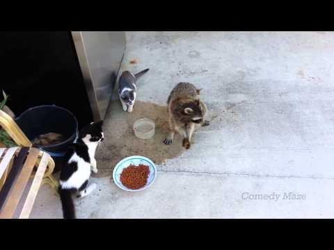 Raccoon Steals Dog Food Smooth Criminal