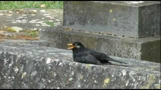 Laid-back (partially leucistic) Blackbird!