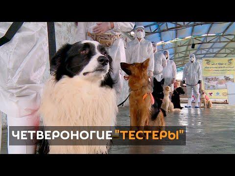 Տեսանյութ.Իրանցի մասնագետները պնդում են, որ շները կարող են 65 տոկոս ճշգրտությամբ հայտնաբերել վարակված մարդկանց