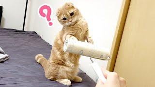 コロコロを不思議そうに見る短足猫が可愛すぎたw