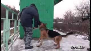 Настоящая собака-защитник! Немецкая овчарка Чак(Немецкая овчарка Чак демонстрирует нам, как она может защищать хозяйку от нападения как одного человека,..., 2011-11-24T23:50:18.000Z)