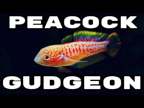 Peacock Gudgeon - The Perfect Nano Fish