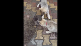 Первая притравка щенков лайки
