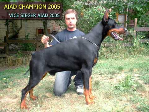 Some of my favorite dobermann males and females youtube for Pinscher nero